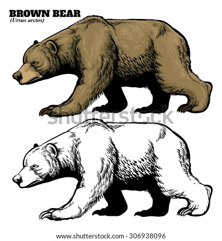 hand drawing style of brown bear - stock vector
