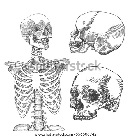 ribcage stock images, royalty-free images & vectors | shutterstock, Skeleton