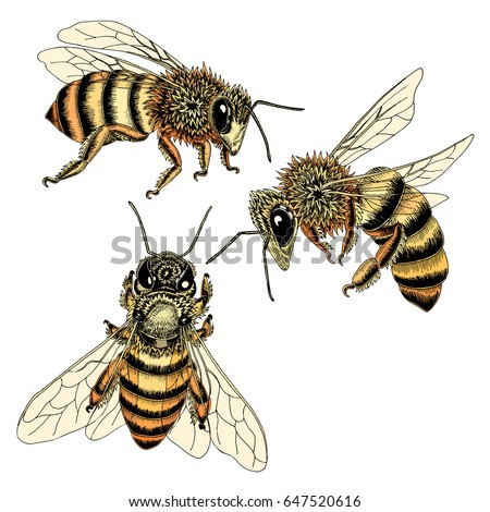 Pictures Of Bees To Color Western Honey Bee Stock Art