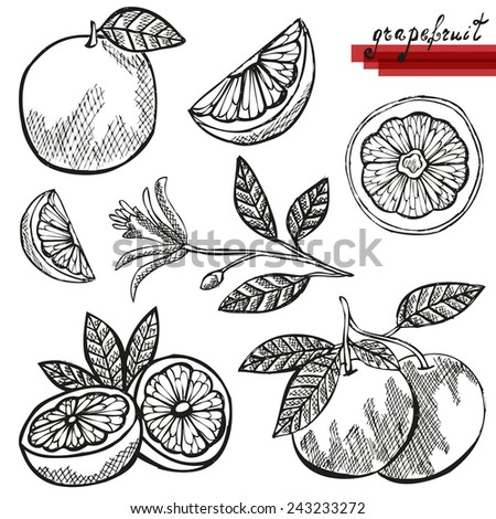 Hand drawn decorative grapefruits, whole and sliced, and grapefruit flower. Design elements. Citrus fruits. Can be used for cards, invitations, scrapbooking, print, manufacturing  - stock vector