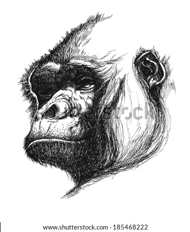 hand drawn gorilla realistic vector eps 8 - stock vector