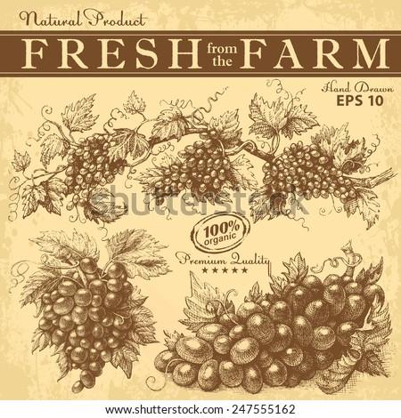 Hand drawn grapes set. Vintage vector - stock vector
