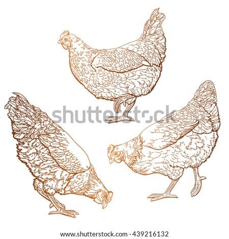 hand drawn hens set. chickens vector illustration. - stock vector