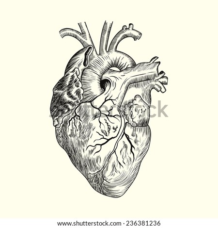Hand drawn Human heart. Sketch anatomical vector illustration isolated on background. Eps10. - stock vector