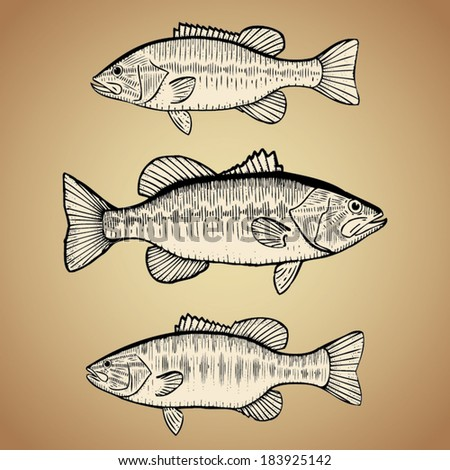 Hand Drawn Illustration of Black Bass (Large Mouth, Small Mouth and Spotted Bass) - stock vector