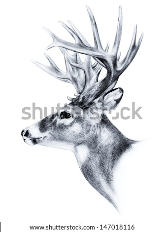 hand drawn image of big white tail buck head with large antlers white-tail deer vector illustration animal isolated on white background for hunting products billboards website, wildlife sketch clipart - stock vector