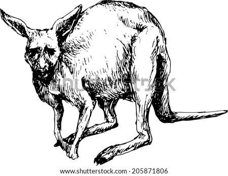 hand drawn kangaroo - stock vector