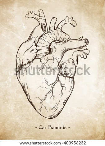 """Hand drawn line art  anatomically correct human heart. Da Vinci sketches style over grunge aged paper background. Vintage tattoo design vector illustration. Enscription is latin term """"human heart"""" - stock vector"""