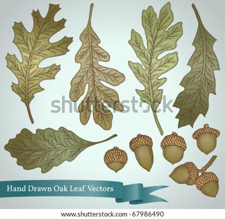 Hand drawn oak leaf and acorn vintage inspired vector set - stock vector