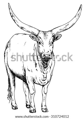 Hand drawn realistic sketch of a long horned ankole, isolated on white background     - stock vector