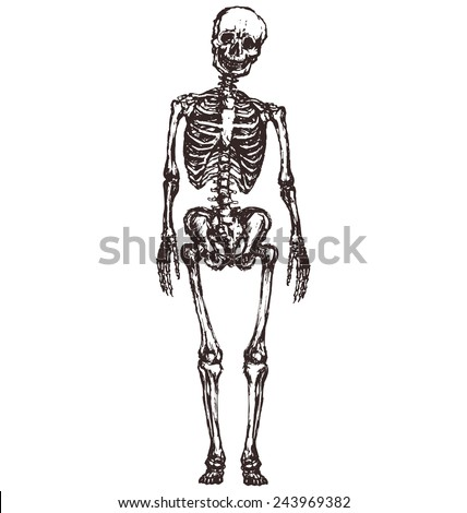 hand-drawn skeleton isolated on white background  - stock vector