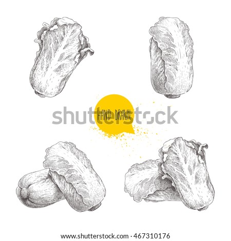 Hand drawn sketch chinese cabbages set. Exotic farm fresh vegetables vector illustration isolated on white background.
