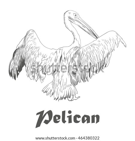 Hand drawn sketch of pelican with spread wings. Vector