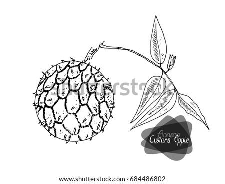 Hand Drawn Sketch Style Custard Apple On A Branch White Background Vector Illustration