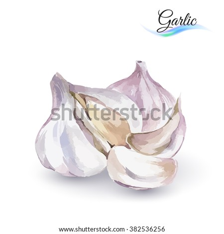 Hand-Drawn Watercolor Painting Garlic on White Background - stock vector