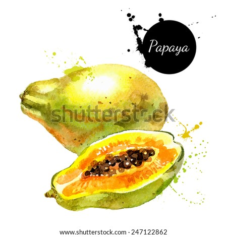 Hand drawn watercolor painting on white background. Vector illustration of fruit papaya - stock vector
