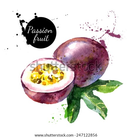 Hand drawn watercolor painting on white background. Vector illustration of passion fruit  - stock vector