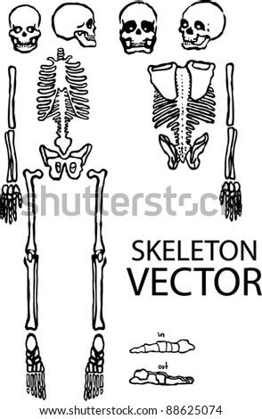 handdraw skeleton vector - stock vector