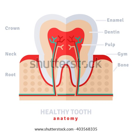 Healthy White Tooth Anatomy Flat Icon Stock Vector (2018) 403568335 ...