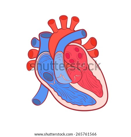 heart anatomy color outline vector illustration - stock vector