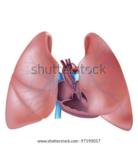Heart cross section and lungs anatomy - stock vector