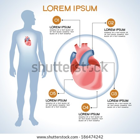 Heart. Modern medical infographics. Internal organs in a human body. Anatomy of people - stock vector