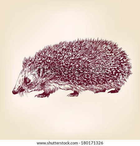 hedgehog  hand drawn vector llustration realistic sketch - stock vector
