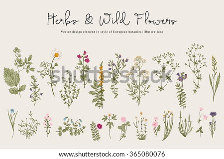 Herbs and Wild Flowers. Botany. Set. Vintage flowers. Colorful illustration in the style of engravings. - stock vector