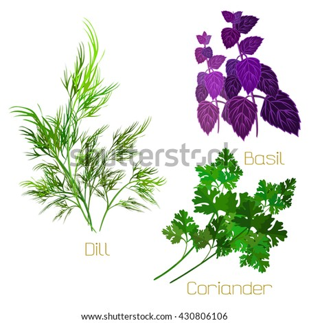 Herbs collection. Culinary and medicinal herbs. Vector illustration. Herbs isolated on white. - stock vector