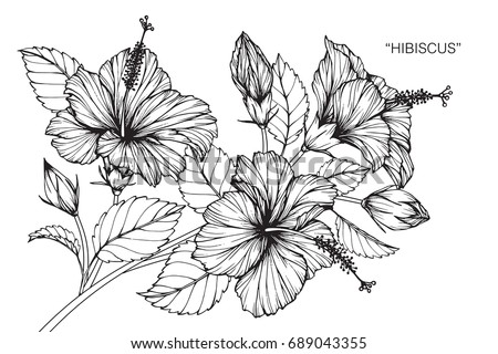 Hibiscus Flowers Drawing Sketch Lineart On Stock Vector
