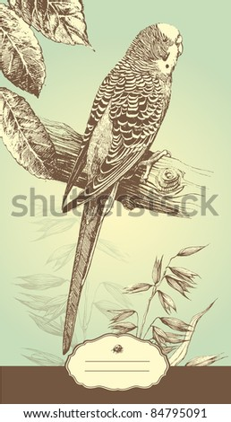 Highly detailed hand drawn illustration of the Australian budgie bird. - stock vector
