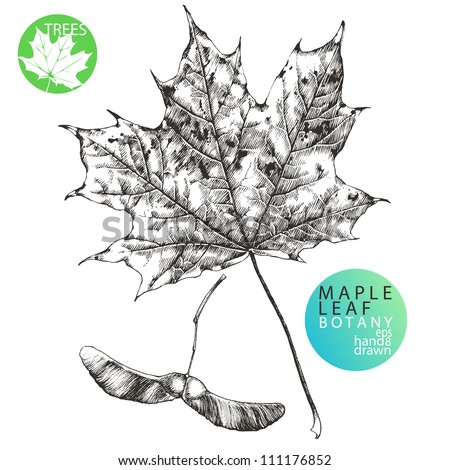 Highly detailed hand drawn maple leaf and maple tree seed (helicopter leaf) - stock vector