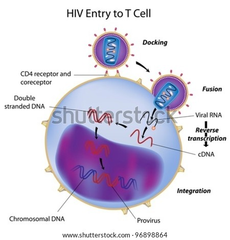 HIV entry to T cell - stock vector