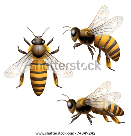 Honey Bee isolated on white - stock vector