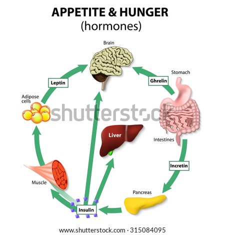 Hormones Appetite Hunger Human Endocrine System Stock Vector ...