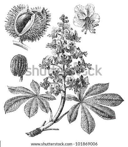 Horse chestnut or Conker tree (Aesculus Hippocastanum) / vintage illustration from Brockhaus Konversations-Lexikon 1908 - stock vector