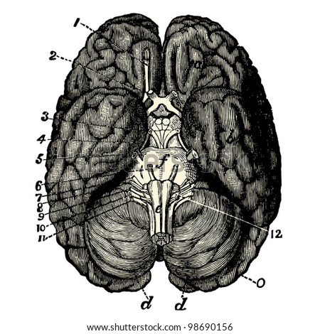 "Humain Brain - Vintage engraved illustration - ""La mosaique "" edited by A.Bourdilliat  1875 - Paris - stock vector"