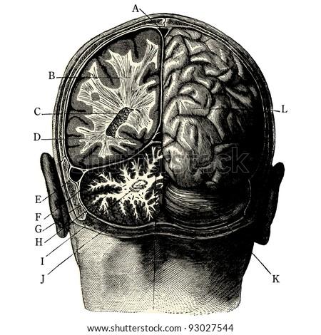 """Humain brain -vintage engraved illustration - """"Manuel des hospitalière et des garde-malaldes""""  edited by  Librairie Poussielgue - Paris 1907 - stock vector"""