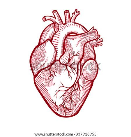 human anatomical heart made graphic art stock vector 337918955, Human Body