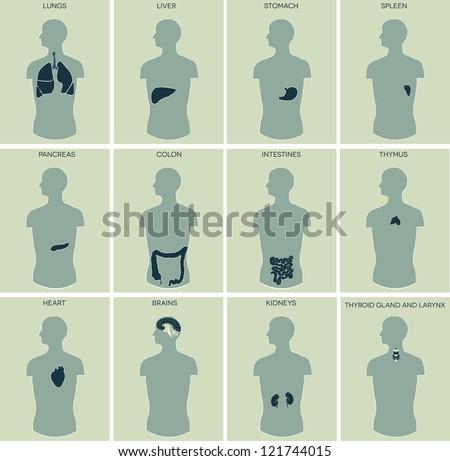 human anatomy detailed diagram various human stock vector, Muscles