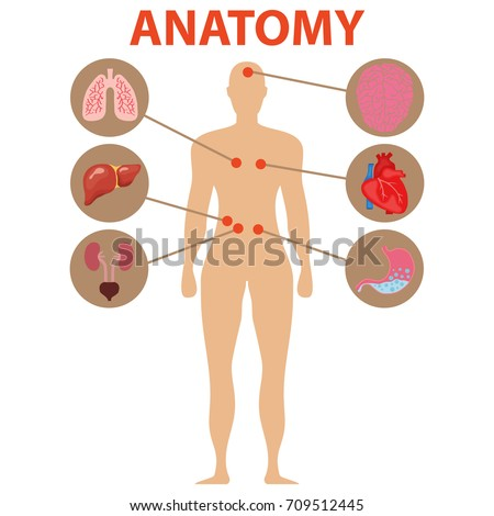 Human anatomy human organs brain heart stock vector hd royalty free the brain heart stomach lungs liver ccuart Image collections