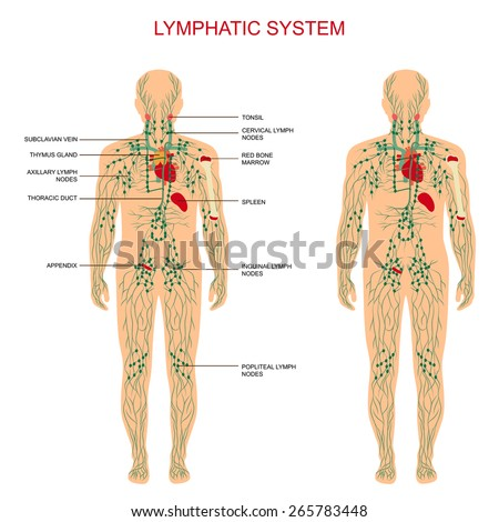 Lymph nodes lymphatic system diagram names anything wiring diagrams human anatomy lymphatic system medical illustration stock vector rh shutterstock com anatomy of lymphatic system diagram bovine lymphatic system ccuart Images