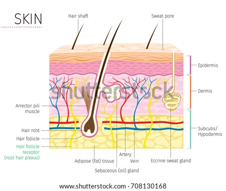Human Anatomy Skin Hair Diagram Complexion Stock Photo (Photo ...