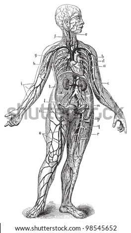 Human anatomy / vintage illustrations from Die Frau als Hausarztin 1911 - stock vector