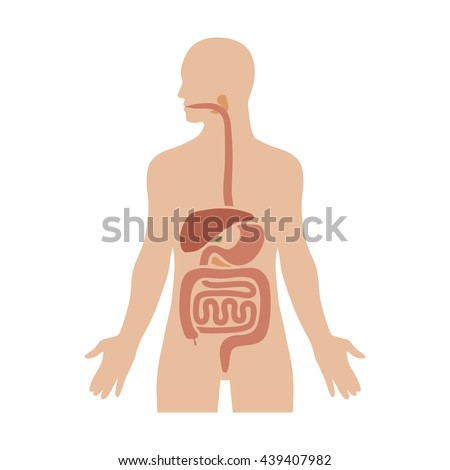 human biological digestive digestion system flat color diagram for medical apps and websites