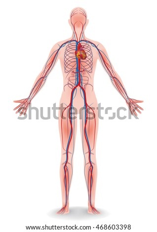 Human Body Circulatory System Vector Diagram Stock Vector Hd