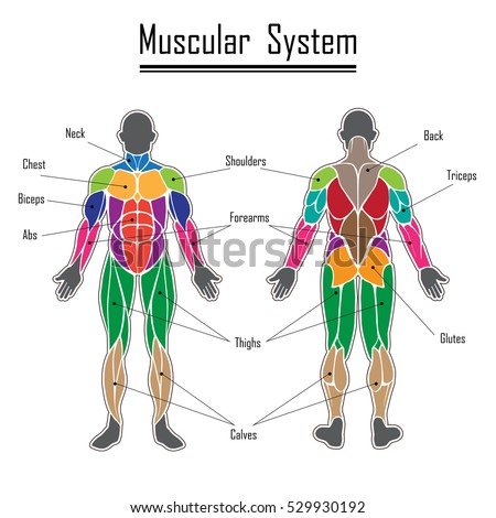 abdominal muscle stock images, royalty-free images & vectors, Muscles
