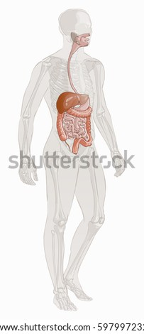 Human body parts digestive system man stock vector royalty free human body parts digestive system man anatomy hand drown vector sketch illustration isolated ccuart Image collections