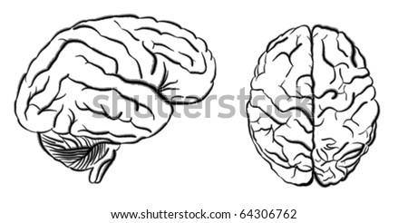 human brain - stock vector