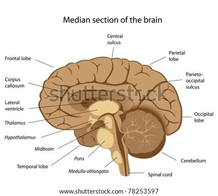 Human brain anatomy - stock vector